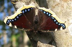 Nymphalis antiopa (Camberwell Beauty or Mourning Cloak)